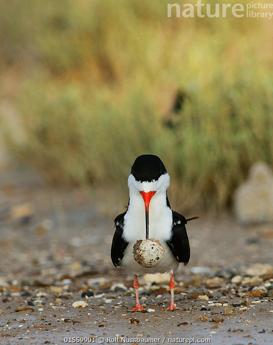 Nature Picture Library - Black skimmer (Rynchops niger