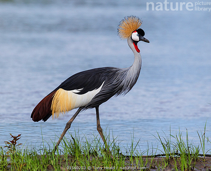 Grey crowned crane (Balearica regulorum) South Luangwa NP. Zambia.  ,  Animal,Wildlife,Vertebrate,Bird,Birds,Crane,Crowned crane,Animalia,Animal,Wildlife,Vertebrate,Aves,Bird,Birds,Gruiformes,Gruidae,Crane,Balearica,Crowned crane,Balearica regulorum,Blue necked crane,Royal crane,Africa,East Africa,Zambia,Profile,Side View,Reserve,Protected area,National Park,Zambian,Endangered species,threatened,Endangered  ,  Tony Heald