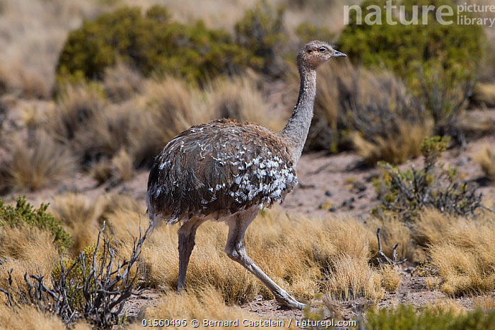 Lesser rhea (Pterocnemia pennata) altiplano, Bolivia September, catalogue10,,Animal,Wildlife,Vertebrate,Bird,Birds,Rheiformes,Rhea,Darwin&#39,s rhea,Animalia,Animal,Wildlife,Vertebrate,Aves,Bird,Birds,Struthioniformes,Rheiformes,Rheidae,Rhea,Rhea pennata,Darwin&#39,s rhea,Lesser rhea,Pterocnemia pennata,Latin America,South America,Bolivia,Horizontal,Portrait,Plant,Desert,Habitat,Altiplano,Montane,High altitude,Altitude,Vegetation,Ratite,Ratites,Flightless, Bernard Castelein