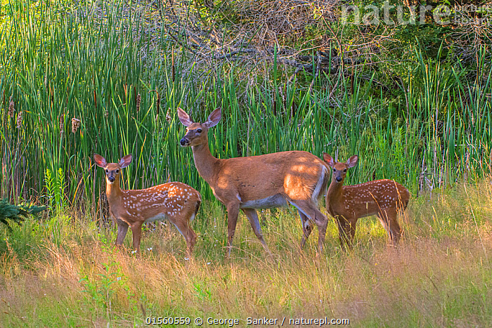 White-tailed deer (Odocoileus virginianus) mother with her twin fawns, Acadia National Park, Maine, USA., Animal,Vertebrate,Mammal,Deer,Key Deer,American,Animalia,Animal,Wildlife,Vertebrate,Mammalia,Mammal,Artiodactyla,Even-toed ungulates,Cervidae,Deer,True deer,ruminantia,Ruminant,Odocoileus,Odocoileus virginianus,Key Deer,White-tailed Deer,Sibling,Siblings,Twins,Twin,Few,Three,Group,North America,USA,Eastern USA,New England,Maine,Profile,Horizontal,Side View,Young Animal,Juvenile,Babies,Baby Mammal,Fawn,Female animal,Doe,Does,Grassland,Meadow,Reserve,Family,Protected area,National Park,Hind,Hinds,American,United States of America,, George  Sanker