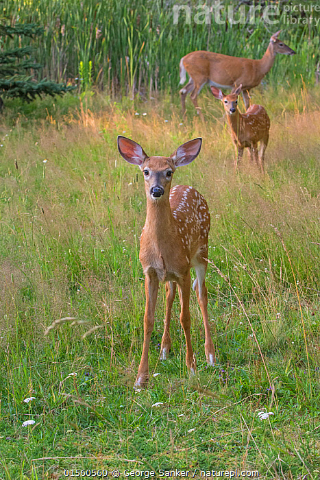 White-tailed deer (Odocoileus virginianus) mother doe with two fawns, one looking at camera, Acadia National Park, Maine, USA., Animal,Vertebrate,Mammal,Deer,Key Deer,American,Animalia,Animal,Wildlife,Vertebrate,Mammalia,Mammal,Artiodactyla,Even-toed ungulates,Cervidae,Deer,True deer,ruminantia,Ruminant,Odocoileus,Odocoileus virginianus,Key Deer,White-tailed Deer,Alertness,Curiosity,North America,USA,Eastern USA,New England,Maine,Vertical,Young Animal,Juvenile,Babies,Baby Mammal,Fawn,Female animal,Doe,Does,Reserve,Family,Mother baby,Mother-baby,mother,Protected area,National Park,Direct Gaze,Parent baby,Hind,Hinds,American,United States of America,, George  Sanker