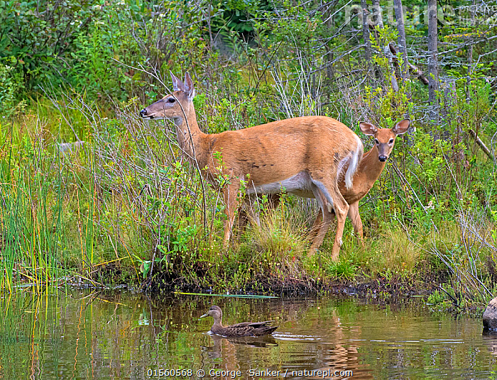 White-tailed deer (Odocoileus virginianus) mother doe and fawn by pond with American black duck (Anas rubripes), Acadia National Park, Maine, USA, August, Animal,Vertebrate,Bird,Birds,Water fowl,Waterfowl,Dabbling duck,North american black duck,Mammal,Deer,Key Deer,American,Animalia,Animal,Wildlife,Vertebrate,Aves,Bird,Birds,Anseriformes,Water fowl,Galloanserans,Waterfowl,Anatidae,Anas,Dabbling duck,Anatinae,Anas rubripes,North american black duck,American Black Duck,Black duck,Black mallard,Mammalia,Mammal,Artiodactyla,Even-toed ungulates,Cervidae,Deer,True deer,ruminantia,Ruminant,Odocoileus,Odocoileus virginianus,Key Deer,White-tailed Deer,Caution,Cautious,North America,USA,Eastern USA,New England,Maine,Horizontal,Young Animal,Juvenile,Babies,Baby Mammal,Fawn,Female animal,Doe,Does,Freshwater,Pond,Water,Reserve,Family,Mother baby,Mixed species,Mother-baby,mother,Protected area,National Park,Parent baby,Hind,Hinds,American,United States of America,Wildfowl,Duck,Ducks, George  Sanker