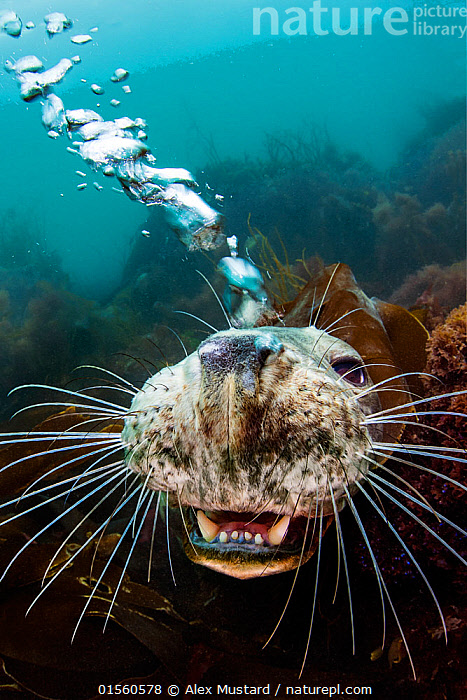 Grey seal (Halichoerus grypus) young female opens her mouth and blows bubbles through her nose playfully while she looks up from the seabed. Lundy Island, Devon, UK, Bristol Channel. August. Highly commended in the Animal Behaviour category of the British Wildlife Photography Awards (BWPA) Competition 2018.  ,  Animal,Wildlife,Vertebrate,Mammal,Carnivore,True seal,Gray Seal,Animalia,Animal,Wildlife,Vertebrate,Mammalia,Mammal,Carnivora,Carnivore,Phocidae,True seal,Pinnipeds,pinnipedia,Halichoerus,Halichoerus grypus,Gray Seal,Grey Seal,Curiosity,Europe,Western Europe,UK,Great Britain,England,Devon,Vertical,Young Animal,Female animal,Animal Nose,Bubble,Ocean,Atlantic Ocean,Marine,Coastal waters,Underwater,Water,Animal Behaviour,Playing,Saltwater,Sea,Whiskers,Investigating,Lundy Island,Bristol Channel,Animals,Vertebrates,Chordates,Mammals,Carnivores,True seals,Pinnipeds,Juveniles,Young Animals,Animal Noses,Noses,Oceans,Seas,Plays,Whisker,Female Animals,Animal,Wildlife,Vertebrate,Mammal,Carnivore,True seal,Gray Seal, catalogue9  ,  Alex Mustard
