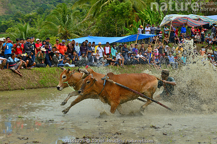 Zebu cattle race through mud during celebrations after rice harvest, Sumatra. July 2016.  ,  People,Competition,Asia,South East Asia,Indonesia,Animal,Livestock,Racing,Culture,Domestic animal,Cattle,Cows,Domesticated,Biodiversity hotspot,Sumatra,Zebu,Bos indicus,Local people,Mammal,  ,  Daniel  Heuclin