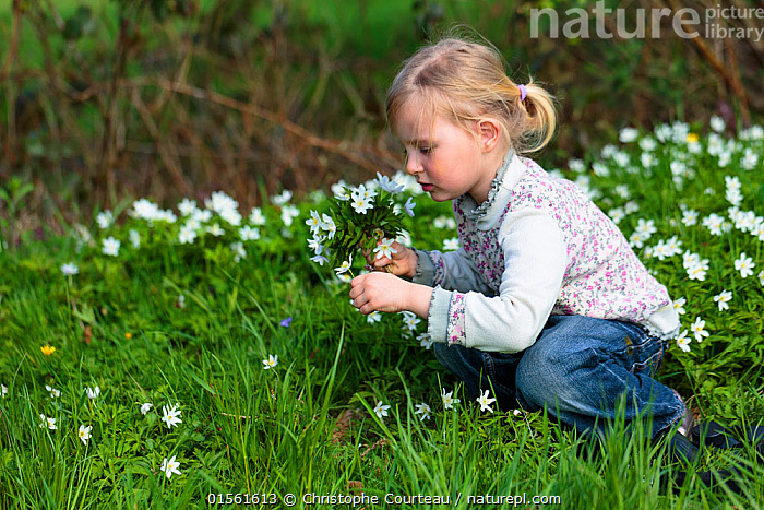 Young girl picking bunch of Wood anemone (Anemone nemorosa) flowers, early spring in France. Model released  ,  Plant,Vascular plant,Flowering plant,Dicot,Anemone,Wood anemone,Plantae,Plant,Tracheophyta,Vascular plant,Magnoliopsida,Flowering plant,Angiosperm,Seed plant,Spermatophyte,Spermatophytina,Angiospermae,Ranunculales,Dicot,Dicotyledon,Ranunculanae,Ranunculaceae,Anemone,Anemone nemorosa,Wood anemone,Thimbleweed,European Thimbleweed,Smell Fox,Anemonidium nemorosum,Anemone intermedia,Anemanthus nemorosus,Ranunculus nemorosus,Anemone amurensis,Picking,Pick,Smelling,Sniffing,People,Europe,Western Europe,France,Horizontal,Wildflower,Wildflowers,Flower,Outdoors,Spring,Woodland,Forest,Children in nature,Using Senses,  ,  Christophe Courteau