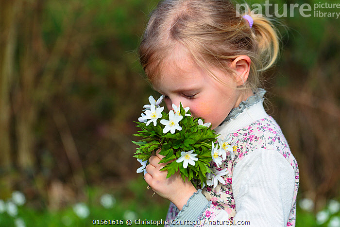 Young girl holding bunch of wild Wood anemones (Anemone nemorosa) from forest, early spring in France. Model released  ,  Plant,Vascular plant,Flowering plant,Dicot,Anemone,Wood anemone,Plantae,Plant,Tracheophyta,Vascular plant,Magnoliopsida,Flowering plant,Angiosperm,Seed plant,Spermatophyte,Spermatophytina,Angiospermae,Ranunculales,Dicot,Dicotyledon,Ranunculanae,Ranunculaceae,Anemone,Anemone nemorosa,Wood anemone,Thimbleweed,European Thimbleweed,Smell Fox,Anemonidium nemorosum,Anemone intermedia,Anemanthus nemorosus,Ranunculus nemorosus,Anemone amurensis,Picking,Pick,Smelling,Sniffing,People,Europe,Western Europe,France,Horizontal,Wildflower,Wildflowers,Flower,Outdoors,Spring,Woodland,Forest,Children in nature,Using Senses,  ,  Christophe Courteau