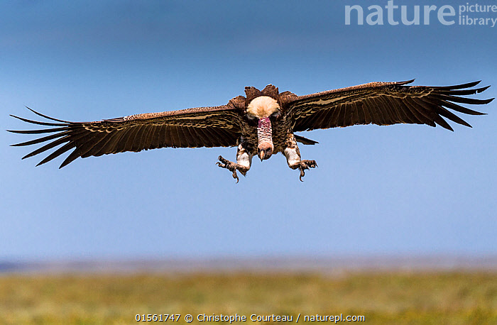 Ruppell's vulture (Gyps rueppellii) coming in to land near carcass. Ndutu Plain. Ngorongoro Conservation Area, Tanzania., Animal,Wildlife,Vertebrate,Bird,Birds,Vulture,Ruppell's griffon vulture,Animalia,Animal,Wildlife,Vertebrate,Aves,Bird,Birds,Accipitriformes,Accipitridae,Gyps,Vulture,Old world vulture,Gyps rueppellii,Ruppell's griffon vulture,Ruppell's vulture,Ruppell's griffon,Flying,Landing,Africa,East Africa,Tanzania,Copy Space,Cutout,Horizontal,Portrait,Wing,Grassland,Wings spread,Wingspan,Negative space,Ngorongoro,Animals,Vertebrates,Chordates,Vultures,Old World vultures,Copy Spaces,Portraits,Wings,Grasslands,Animal,Wildlife,Vertebrate,Bird,Birds,Vulture,Ruppell's griffon vulture,high16, Christophe Courteau