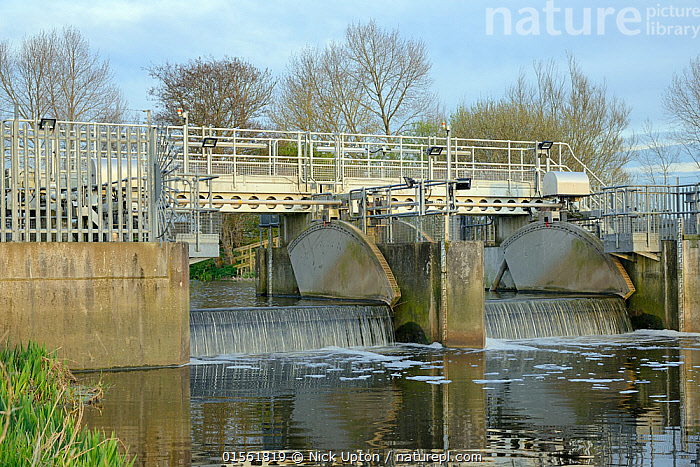 Overflow weir with adjustable gates and an Eel pass to allow migration of young European eel (Anguilla anguilla) elvers, or glass eels up a drainage channel on the Somerset Levels, UK, April 2016  ,  Animal,Vertebrate,Ray-finned fish,Eel,Freshwater eels,European eel,Animalia,Animal,Wildlife,Vertebrate,Actinopterygii,Ray-finned fish,Osteichthyes,Bony fish,Fish,Anguilliformes,Eel,Anguillidae,Freshwater eels,Anguilla,Anguilla anguilla,European eel,Silver eel,River eel,Sing eel,Weed eel,Yellow eel,Muraena anguilla,Anguilla vulgaris,Anguilla fluviatilis,Europe,Western Europe,UK,Great Britain,England,Somerset,Horizontal,Young Animal,Juvenile,Bridge,Bridges,Flowing Water,River,Nature,Endangered Species,Threatened,Freshwater,Water,Animal Behaviour,Conservation,Behaviour,Wildlife conservation,Reintroduction,Reintroduced,  ,  Nick Upton