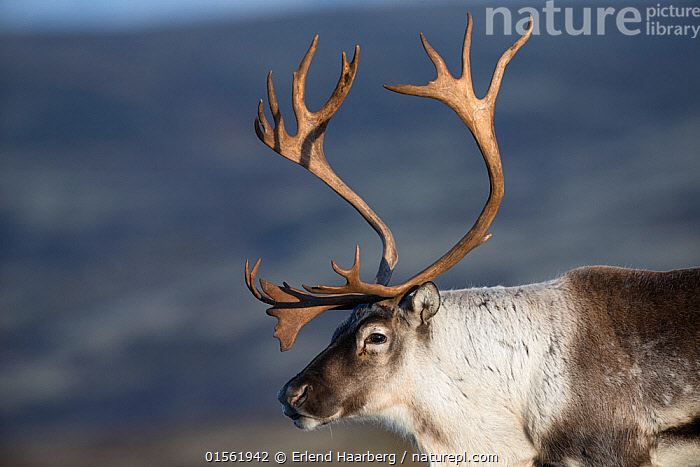 RF - Wild reindeer (Rangifer tarandus) male in autumn. Forollhogna National Park. Norway. (This image may be licensed either as rights managed or royalty free.)  ,  Royalty Free,,Animal,Vertebrate,Mammal,Deer,Caribou,Animalia,Animal,Wildlife,Vertebrate,Mammalia,Mammal,Artiodactyla,Even-toed ungulates,Cervidae,Deer,True deer,ruminantia,Ruminant,Rangifer,Rangifer tarandus,Caribou,Reindeer,Alertness,Majestic,Uncertain,Unsure,Suspicion,Nobody,Europe,Northern Europe,North Europe,Nordic Countries,Scandinavia,Norway,Profile,Side View,Male Animal,Antler,Antlers,Outdoors,Autumn,Nature,Wild,Reserve,Protected area,National Park,Negative space,Aware,RF,Royalty free,RFCAT1,RF17Q1,Forollhogna National Park,  ,  Erlend Haarberg