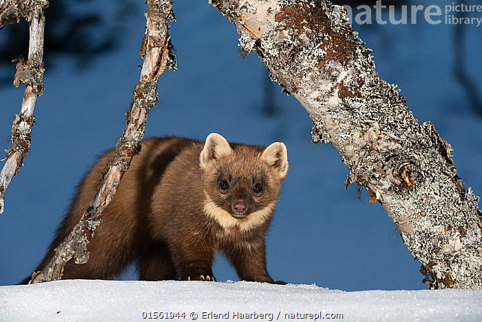 RF - Pine marten (Martes martes). Vauldalen, Norway. (This image may be licensed either as rights managed or royalty free.)  ,  Royalty Free,,Animal,Vertebrate,Mammal,Carnivore,Mustelid,Marten,European Pine Martin,Animalia,Animal,Wildlife,Vertebrate,Mammalia,Mammal,Carnivora,Carnivore,Mustelidae,Mustelid,Martes,Marten,Martes martes,European Pine Martin,Pine Marten,Sadness,Lost,Colour,Brown,Nobody,Europe,Northern Europe,North Europe,Nordic Countries,Scandinavia,Norway,Front View,Plant,Tree Trunk,Hair,Fur,Snow,Outdoors,Winter,Nature,Wild,Direct Gaze,Despondent,Downcast,Disorientated,Vauldalen,Brekkebygd,Animal Hair,RF,Royalty free,RFCAT1,RF17Q1,  ,  Erlend Haarberg