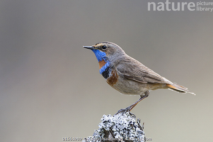 Bluethroat (Luscinia svecica) male. Norway May  ,  Animal,Vertebrate,Bird,Birds,Songbird,Old world flycatcher,Chat,Bluethroat,Animalia,Animal,Wildlife,Vertebrate,Aves,Bird,Birds,Passeriformes,Songbird,Passerine,Muscicapidae,Old world flycatcher,Flycatcher,Luscinia,Chat,Chat thrush,Saxicolinae,Luscinia svecica,Bluethroat,Luscinia svecicus,Erithacus svecicus,Europe,Northern Europe,North Europe,Nordic Countries,Scandinavia,Norway,Copy Space,Cutout,Profile,Horizontal,Side View,Portrait,Male Animal,Negative space,  ,  Erlend Haarberg