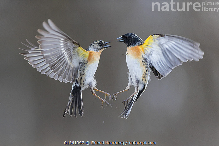 Brambling (Fringilla montifringilla) two males fighting in air. Vauldalen, Norway April  ,  Animal,Vertebrate,Bird,Birds,Songbird,True finch,Brambling,Animalia,Animal,Wildlife,Vertebrate,Aves,Bird,Birds,Passeriformes,Songbird,Passerine,Fringillidae,True finch,Finch,Fringilla,Fringilla montifringilla,Brambling,Flying,Two,Europe,Northern Europe,North Europe,Nordic Countries,Scandinavia,Norway,Horizontal,Male Animal,Snow,Winter,Animal Behaviour,Aggression,Fighting,Behaviour,  ,  Erlend Haarberg