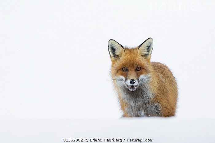 Red fox (Vulpes vulpes) portrait in snow, Vauldalen, Norway. April  ,  Animal,Vertebrate,Mammal,Carnivore,Canid,True fox,Red fox,Animalia,Animal,Wildlife,Vertebrate,Mammalia,Mammal,Carnivora,Carnivore,Canidae,Canid,Vulpes,True fox,Vulpini,Caninae,Vulpes vulpes,Red fox,Curiosity,Europe,Northern Europe,North Europe,Nordic Countries,Scandinavia,Norway,Copy Space,Cutout,Plain Background,White Background,Horizontal,Portrait,Snow,Winter,Direct Gaze,Negative space,  ,  Erlend Haarberg