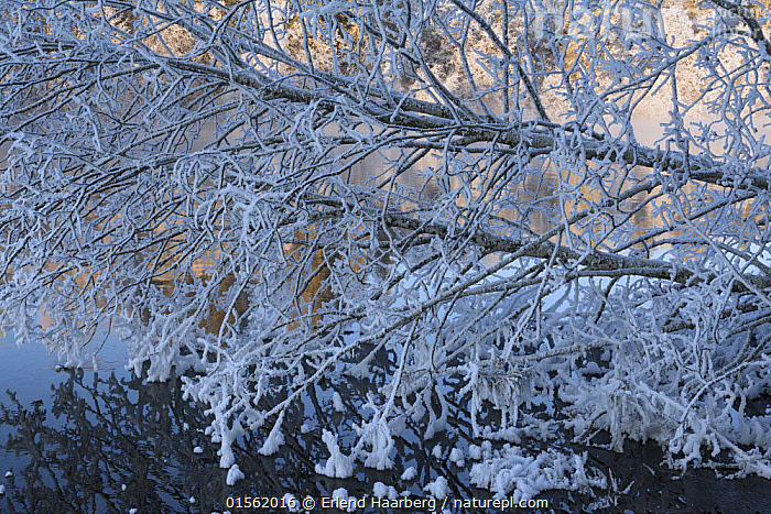 Cold frosty day at Nidelva river. Kl�bu, Norway January  ,  Temperature,Cold,Europe,Northern Europe,North Europe,Nordic Countries,Scandinavia,Norway,Horizontal,Plant,Tree,Flowing Water,River,Snow,Weather,Frost,Landscape,Winter,Freshwater,Water,Cold Weather,  ,  Erlend Haarberg