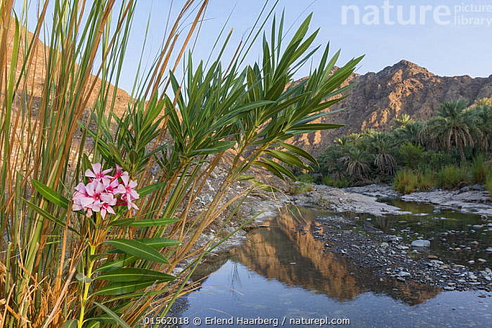 Date palm plantation by a small river in the Hajar Mountains. United Arab Emirates.  ,  Asia,Middle East,United Arab Emirates,Trucial Oman,Trucial States,Uae,Horizontal,Plant,Date,Dates,Mountain,Flowing Water,River,Landscape,Freshwater,Water,Fruit,Arabia,  ,  Erlend Haarberg