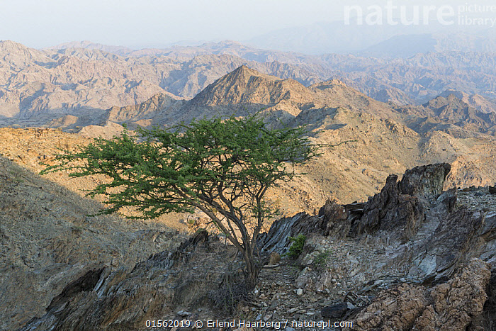 Solitary tree in the Hajar Mountains. United Arab Emirates.  ,  Natural Condition,Barren,Asia,Middle East,United Arab Emirates,Trucial Oman,Trucial States,Uae,Horizontal,Plant,Tree,Mountain,Landscape,Habitat,Arabia,  ,  Erlend Haarberg