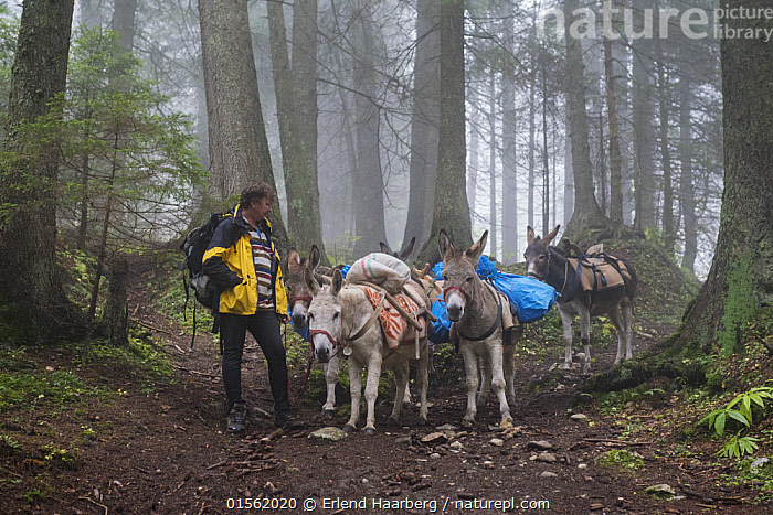 Attila Kovacs leading his donkeys in the Piatra Mare Mountains. He uses the donkeys to transport food to the Piatra Mare mountain refuge. Transylvania, Romania.  ,  Equus assinus,Working,People,Man,Traditional,Europe,Eastern Europe,East Europe,Romania,Horizontal,Animal,Mountain,Landscape,Livestock,Domestic animal,Forest,Domesticated,Domestic Donkey,Ass,Equus assinus,Donkey,Working Animal,Mammal,Transylvania,  ,  Erlend Haarberg