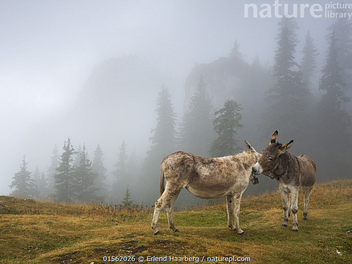 Donkeys in fog on  Piatra Mare Mountains, Transylvania, Romania.  ,  Equus assinus,Greeting,Two,Affectionate,Affection,Europe,Eastern Europe,East Europe,Romania,Horizontal,Animal,Mountain,Mist,Landscape,Livestock,Domestic animal,Forest,Domesticated,Domestic Donkey,Ass,Equus assinus,Donkey,Mammal,Transylvania,Mountainous,Mountains,Landscapes,Forests,Donkeys,Animals,Mammals,Equus assinus, catalogue9  ,  Erlend Haarberg