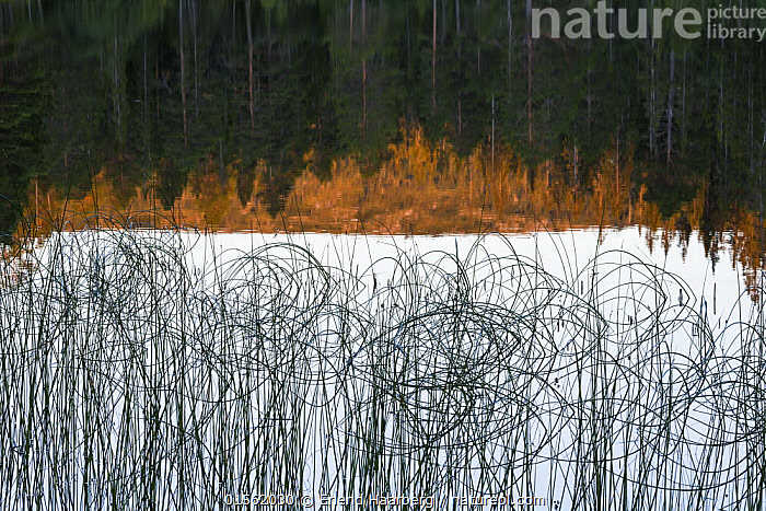Vegetation and   Brungfjellet mountain reflected in lake, Norway September  ,  Europe,Northern Europe,North Europe,Nordic Countries,Scandinavia,Norway,Horizontal,Plant,Mountain,Reflection,Freshwater,Lake,Water,Arty shots,Abstract,Abstracts,Vegetation,Mountainous,Mountains,Lakes, catalogue9  ,  Erlend Haarberg