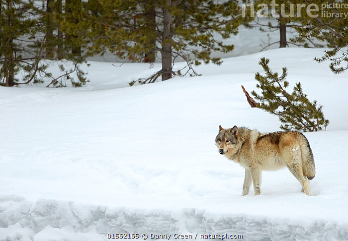 RF - Wolf (Canis lupus) walking in snow. Yellowstone National Park, USA. February (This image may be licensed either as rights managed or royalty free.)  ,  Animal,Vertebrate,Mammal,Carnivore,Canid,Grey Wolf,American,Animalia,Animal,Wildlife,Vertebrate,Mammalia,Mammal,Carnivora,Carnivore,Canidae,Canid,Canis,Canis lupus,Grey Wolf,Common Wolf,Gray Wolf,Wolf,Standing,Nobody,North America,USA,Western USA,Copy Space,Side View,Snow,Outdoors,Winter,Day,Nature,Wild,Animals In The Wild,Woodland,Reserve,Forest,Protected area,National Park,Negative space,Yellowstone National Park,American,United States of America,RF,Royalty free,RFCAT1,RF17Q1,  ,  Danny Green