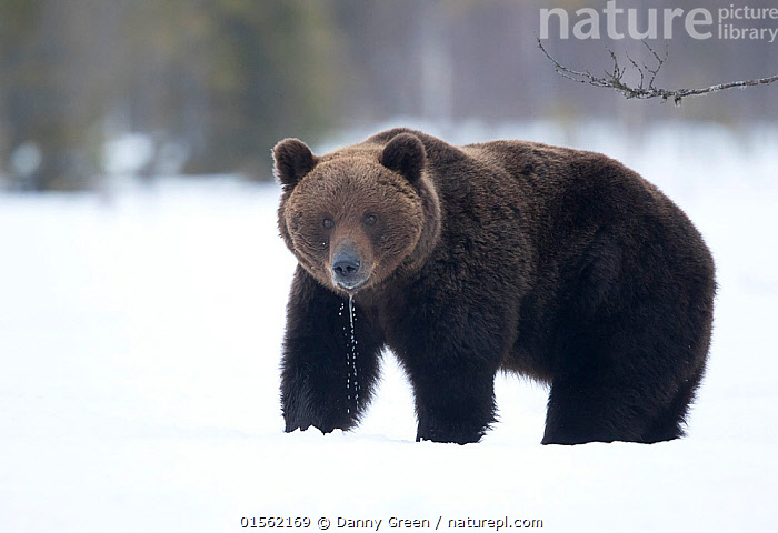 RF - Brown Bear (Ursus arctos) in the snow, Finland. April. (This image may be licensed either as rights managed or royalty free.)  ,  Animal,Vertebrate,Mammal,Carnivore,Bear,Brown Bear,Animalia,Animal,Wildlife,Vertebrate,Mammalia,Mammal,Carnivora,Carnivore,Ursidae,Bear,Ursus,Ursus arctos,Brown Bear,Standing,Surprise,Steady,Steadiness,Uncertain,Unsure,Colour,Brown,Nobody,Europe,Northern Europe,North Europe,Nordic Countries,Finland,Copy Space,Hair,Fur,Saliva,Drool,Drooling,Drools,Snow,Outdoors,Day,Direct Gaze,Negative space,Animal Hair,Unpredictable,RF,Royalty free,RFCAT1,RF17Q1,  ,  Danny Green