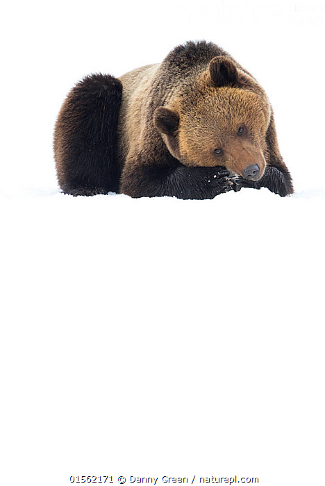RF - Brown Bear (Ursus arctos) resting in the snow, Finland. April. (This image may be licensed either as rights managed or royalty free.)  ,  Animal,Vertebrate,Mammal,Carnivore,Bear,Brown Bear,Animalia,Animal,Wildlife,Vertebrate,Mammalia,Mammal,Carnivora,Carnivore,Ursidae,Bear,Ursus,Ursus arctos,Brown Bear,Resting,Rest,Colour,Brown,Nobody,Europe,Northern Europe,North Europe,Nordic Countries,Finland,Copy Space,Plain Background,White Background,Front View,Hair,Fur,Snow,Outdoors,Day,Negative space,Animal Hair,RF,Royalty free,RFCAT1,RF17Q1,  ,  Danny Green