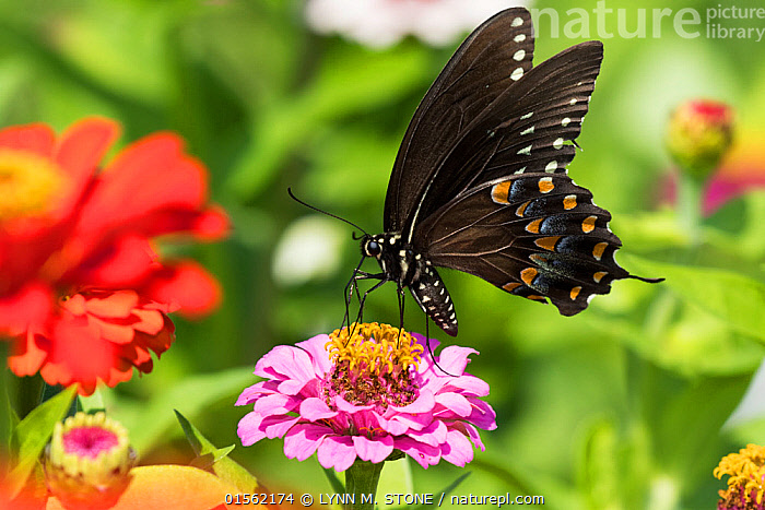RF - Spicebush Swallowtail Butterfly (Papilio troilus) nectaring on Zinnia in farm garden, wild and free. Madison, Connecticut, USA. (This image may be licensed either as rights managed or royalty free.)  ,  Butterflies,Inspiration,,Animal,Arthropod,Insect,Swallowtail butterfly,Spicebush swallowtail,American,Animalia,Animal,Wildlife,Hexapoda,Arthropod,Invertebrate,Hexapod,Arthropoda,Insecta,Insect,Lepidoptera,Lepidopterans,Papilionidae,Swallowtail butterfly,Papilionid,Butterfly,Papilio,Papilio troilus,Spicebush swallowtail,Coastal spicebush swallowtail,Pollination,Colour,Black,Pink,Colourful,Nobody,Pattern,North America,USA,Midwest,Wisconsin,Madison,Close Up,Side View,Plant,Zinnia,Zinnias,Wing,Outdoors,Day,Feeding,Nectaring,Animal marking,American,United States of America,RF,Royalty free,RFCAT1,RF17Q1,  ,  LYNN M. STONE