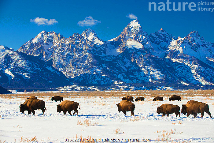 RF - American bisons (Bison bison) in Grand Teton National Park. winter. Wyoming, USA. (This image may be licensed either as rights managed or royalty free.)  ,  Animal,Vertebrate,Mammal,Bovid,Bison,American Bison,American,Animalia,Animal,Wildlife,Vertebrate,Mammalia,Mammal,Artiodactyla,Even-toed ungulates,Bovidae,Bovid,ruminantia,Ruminant,Bison,Bison bison,American Bison,American buffalo,Walking,Journey,On The Move,Togetherness,Group Of Animals,Herd,Group,Medium Group,Nobody,Jagged,Craggy,Snowcapped,North America,USA,Western USA,Wyoming,Mountain,Plain,Plains,Sunlight,Snow,Landscape,Outdoors,Day,Reserve,Protected area,National Park,Wilderness,Medium group of animals,Grand Teton National Park,Moving,Natural Light,American,United States of America,RF,Royalty free,RFCAT1,RF17Q1,  ,  Inaki  Relanzon