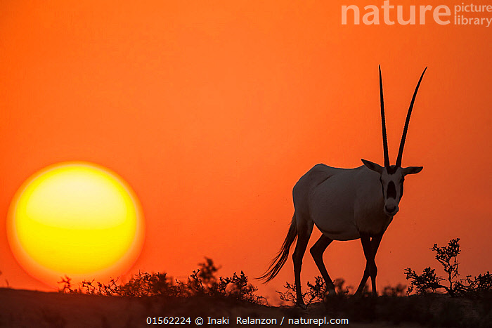 Arabian Oryx (Oryx leucoryx) at sunset. Previously extinct in the wild, their conservation status is now stable thanks to conservation efforts.This male is part of a reintroduction program in Dubai, UAE.  ,  Animal,Wildlife,Vertebrate,Mammal,Bovid,Oryx,Arabian Oryx,Animalia,Animal,Wildlife,Vertebrate,Mammalia,Mammal,Artiodactyla,Even-toed ungulates,Bovidae,Bovid,ruminantia,Ruminant,Oryx,Oryx leucoryx,Arabian Oryx,White Oryx,Colour ,Orange ,Asia,Middle East,United Arab Emirates,Trucial Oman,Trucial States,Uae,Dubai,Copy Space,Back Lit,Sunset,Setting Sun,Sunsets,Conservation,Arabia,The Sun,Wildlife conservation,Reintroduction,Reintroduced,Dusk,Negative space,Animals,Vertebrates,Chordates,Mammals,Bovids,Ruminants,Oryxes,Copy Spaces,Reintroductions,Colours,Colors,Animal,Wildlife,Vertebrate,Mammal,Bovid,Oryx,Arabian Oryx,high16  ,  Inaki  Relanzon