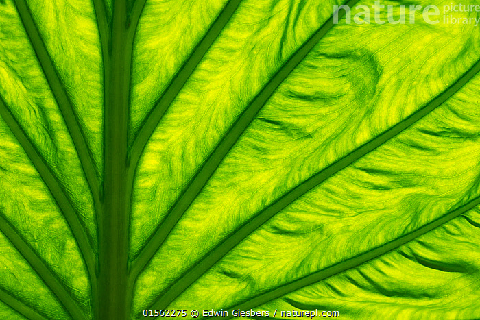 RF - Leaf of Chinese taro (Alocasia cucullata) backlit to show veins. Occurs in Asia. Botanic Garden Meise, Belgium, August. (This image may be licensed either as rights managed or royalty free.)  ,  Plant,Vascular plant,Flowering plant,Monocot,Arum,Plantae,Plant,Tracheophyta,Vascular plant,Magnoliopsida,Flowering plant,Angiosperm,Seed plant,Spermatophyte,Spermatophytina,Angiospermae,Alismatales,Monocot,Monocotyledon,Lilianae,Araceae,Arum,Aroid,Colour,Green,Pattern,Full Frame,Close Up,Leaf,Foliage,Alocasia,RF,Royalty free,Alocasia cucullata,,,RF17Q2,RF3,,RF3,,RF,  ,  Edwin  Giesbers