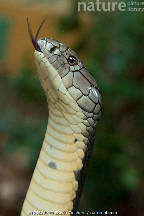 RF - King Cobra (Ophiophagus hannah) captive, occurs in Asia. (This image may be licensed either as rights managed or royalty free.)  ,  Animal,Vertebrate,Reptile,Squamate,Elapid,Cobra,King cobra,Animalia,Animal,Wildlife,Vertebrate,Reptilia,Reptile,Squamata,Squamate,Elapidae,Elapid,Snake,Ophiophagus,Cobra,Ophiophagus hannah,King cobra,Hamadryad,Dendraspis hannah,Naja bungarus,Naja hannah,Portrait,Venomous,Venom,RF,Royalty free,Venomous,Endangered species,threatened,Vulnerable,,RF17Q2,RF3,,RF3,,RF,  ,  Edwin  Giesbers