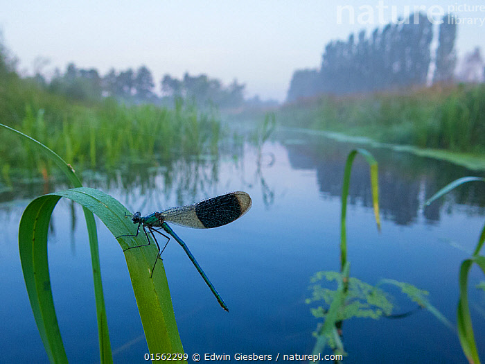 RF - Banded demoiselle (Calopteryx splendens) male resting near water, Netherlands, August. (This image may be licensed either as rights managed or royalty free.)  ,  Nature,Wildlife,Banded darter,Dragonfly,Canal,Netherlands,Wetlands,Dawn,Insect,Calopteryx splendens,,Animal,Arthropod,Insect,Pterygota,Broadwinged damselfly,Banded demoiselle,Animalia,Animal,Wildlife,Hexapoda,Arthropod,Invertebrate,Hexapod,Arthropoda,Insecta,Insect,Odonata,Pterygota,Calopterygidae,Broadwinged damselfly,Broad winged damselfly,Demoiselle,Damselfly,Zygoptera,Calopteryx,Calopteryx splendens,Banded demoiselle,Banded blackwing,Agrion splendens,Libellula splendens,Resting,Rest,Europe,Western Europe,The Netherlands,Holland,Netherlands,Reflection,Canal,Freshwater,Water,RF,Royalty free,,,RF17Q2,RF3,,RF3,,RF,  ,  Edwin  Giesbers
