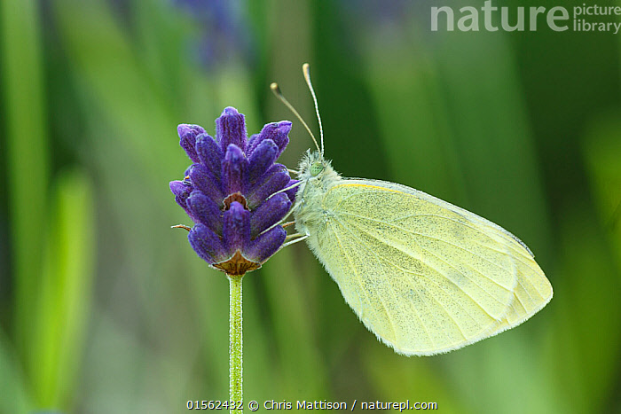 Small White / Cabbage white butterfly (Pieris rapae) on Lavender, Sheffield, UK July (Focus-stacked image), Plant,Vascular plant,Flowering plant,Asterid,Lavender,Animal,Arthropod,Insect,Butterfly,White,Small white,Plantae,Plant,Tracheophyta,Vascular plant,Magnoliopsida,Flowering plant,Angiosperm,Seed plant,Spermatophyte,Spermatophytina,Angiospermae,Lamiales,Asterid,Dicot,Dicotyledon,Asteranae,Lamiaceae,Labiatae,Lavandula,Lavender,Animalia,Animal,Wildlife,Hexapoda,Arthropod,Invertebrate,Hexapod,Arthropoda,Insecta,Insect,Lepidoptera,Lepidopterans,Pieridae,Butterfly,Papilionoidea,Pieris,White,Garden white,Pieris rapae,Small white,Small cabbage white,White butterfly,Small cabbage butterfly,Papilio rapae,Europe,Western Europe,UK,Great Britain,England,South Yorkshire,Sheffield,Profile,Horizontal,Side View,Portrait,Flower,Yorkshire,, Chris Mattison