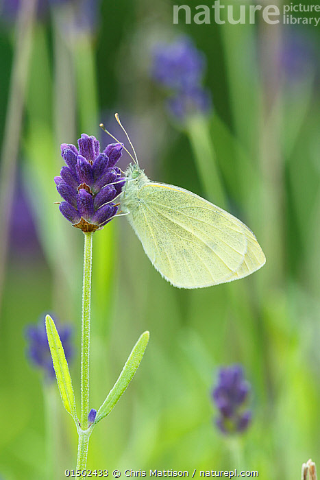 Small White / Cabbage white butterfly (Pieris rapae) on Lavender, Sheffield, UK July (Focus-stacked image)  ,  Plant,Vascular plant,Flowering plant,Asterid,Lavender,Animal,Arthropod,Insect,Butterfly,White,Small white,Plantae,Plant,Tracheophyta,Vascular plant,Magnoliopsida,Flowering plant,Angiosperm,Seed plant,Spermatophyte,Spermatophytina,Angiospermae,Lamiales,Asterid,Dicot,Dicotyledon,Asteranae,Lamiaceae,Labiatae,Lavandula,Lavender,Animalia,Animal,Wildlife,Hexapoda,Arthropod,Invertebrate,Hexapod,Arthropoda,Insecta,Insect,Lepidoptera,Lepidopterans,Pieridae,Butterfly,Papilionoidea,Pieris,White,Garden white,Pieris rapae,Small white,Small cabbage white,White butterfly,Small cabbage butterfly,Papilio rapae,Europe,Western Europe,UK,Great Britain,England,South Yorkshire,Sheffield,Profile,Vertical,Side View,Portrait,Flower,Yorkshire,  ,  Chris Mattison
