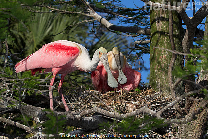 RF - Roseate spoonbill (Platalea ajaja) pair at nest. St. Johns County, Florida, USA. (This image may be licensed either as rights managed or royalty free.)  ,  Animal,Vertebrate,Bird,Birds,Spoonbill,Roseate spoonbill,American,Animalia,Animal,Wildlife,Vertebrate,Aves,Bird,Birds,Pelecaniformes,Threskiornithidae,Platalea,Spoonbill,Plataleinae,Platalea ajaja,Roseate spoonbill,Ajaia ajaja,Standing,Suspicion,Colour,Pink,Side By Side,Two,Nobody,North America,USA,Southern USA,Southeast US,Florida,Beak,Animal Home,Nest,Outdoors,Day,Two animals,American,United States of America,RF,Royalty free,RFCAT1,RF17Q1,St Johns County,  ,  LYNN M. STONE