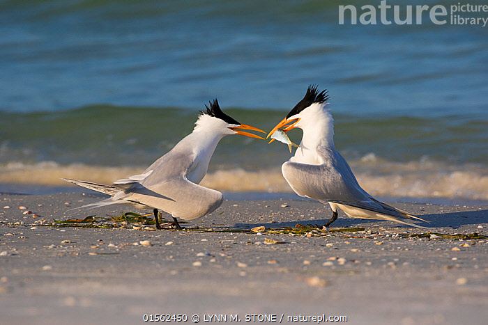 RF - Royal tern (Thalasseus maxima)  offering fish to female as part of courtship. Mullet Key, St Petersburg. Florida, USA. (This image may be licensed either as rights managed or royalty free.)  ,  Animal,Vertebrate,Ray-finned fish,Bird,Birds,Tern,Royal tern,American,Animalia,Animal,Wildlife,Vertebrate,Actinopterygii,Ray-finned fish,Osteichthyes,Bony fish,Fish,Aves,Bird,Birds,Charadriiformes,Sternidae,Tern,Gull,Seabird,Sterninae,Thalasseus,Thalasseus maximus,Royal tern,Sterna maxima,Arguing,Courting,Choice,Alternative,Choices,Face To Face,Two,Nobody,North America,USA,Southern USA,Southeast US,Florida,Side View,Beach,Outdoors,Day,Relationship Difficulties,Separating,Coast,Coastal,Animal Behaviour,Mating Behaviour,Courtship,Behaviour,Two animals,Squabbling,American,Nagging,United States of America,RF,Royalty free,RFCAT1,RF17Q1,Mullet Key,  ,  LYNN M. STONE