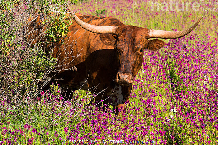 RF - Texas longhorn cow emerging from thicket into wildflowers in hill country ranch land. Santa Barbara County, California, USA. (This image may be licensed either as rights managed or royalty free.)  ,  American,Emergence,Uncertain,Unsure,Lost,Colour,Pink,Nobody,Horned,North America,USA,Western USA,Southwest US,California,Southern California,Santa Barbara,Front View,Animal,Plant,Wildflower,Wildflowers,Flower,Coppice,Coppices,Copses,Thicket,Sunlight,Outdoors,Day,Livestock,Domestic animal,Cattle,Cows,Texas Longhorn,Forest,Domesticated,Horn,Natural Light,Disorientated,American,Mammal,United States of America,RF,Royalty free,RFCAT1,RF17Q1,  ,  LYNN M. STONE