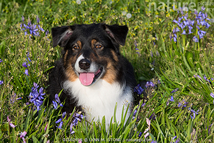 RF - Australian shepherd in spring flowers. Waterford, Connecticut, USA. (This image may be licensed either as rights managed or royalty free.)  ,  Canis familiaris,American,Waiting,Excitement,Eagerness,Enthusiasm,Enthusiastic,Excited,Nobody,Facial Expression,Making A Face,Sticking Out Tongue,North America,USA,Eastern USA,New England,Connecticut,Front View,Portrait,Animal,Plant,Flower,Outdoors,Spring,Day,Animal Behaviour,Thermoregulation,Panting,Domestic animal,Pet,Behaviour,Domestic Dog,Pastoral Dog,Medium dog,Australian Shepherd,Domesticated,Canis familiaris,Dog,Animal portrait,American,Mammal,Funny Face,United States of America,RF,Royalty free,RFCAT1,RF17Q1,Waterford,  ,  LYNN M. STONE