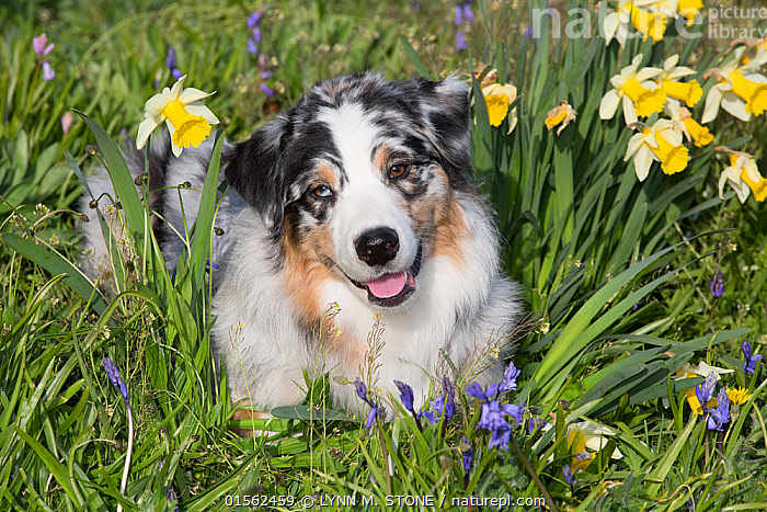RF - Australian shepherd in spring flowers. Waterford, Connecticut, USA. (This image may be licensed either as rights managed or royalty free.)  ,  Canis familiaris,American,Bizarre,Weird,Friendship,Nobody,Pattern,Facial Expression,Smiling,North America,USA,Eastern USA,New England,Connecticut,Front View,Animal,Plant,Lily Order,Amaryllis Family,Narcissus,Narcissi,Narcissuses,Daffodil,Daffodils,Flower,Outdoors,Spring,Day,Domestic animal,Pet,Domestic Dog,Pastoral Dog,Medium dog,Australian Shepherd,Domesticated,Canis familiaris,Dog,Animal marking,American,Mammal,United States of America,RF,Royalty free,RFCAT1,RF17Q1,Waterford,  ,  LYNN M. STONE