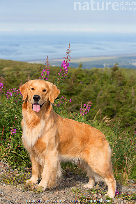 RF - Female Golden retriever standing by  Fireweed  flower,  Chugach State Park, Anchorage, Alaska, USA. (This image may be licensed either as rights managed or royalty free.)  ,  Canis familiaris,American,Standing,Confidence,Anchorage,Nobody,North America,USA,Western USA,Alaska,Profile,Side View,Animal,Female animal,Plant,Fireweed,Epilobium Angustifolium,Epilobium Angustifoliums,Fireweeds,Great Willow Herb,Great Willow Herbs,Wickup,Wickups,Ledge,Mountain,Landscape,Outdoors,Day,Animal Behaviour,Thermoregulation,Panting,Domestic animal,Pet,Behaviour,Domestic Dog,Gun dog,Large dog,Golden Retriever,Domesticated,Canis familiaris,Dog,American,Mammal,United States of America,RF,Royalty free,RFCAT1,RF17Q1,Chugach State Park,  ,  LYNN M. STONE