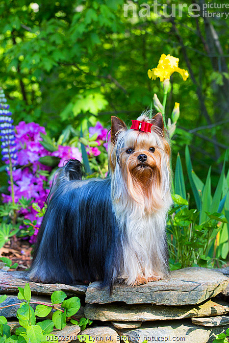 Nature Picture Library Yorkshire Terrier Dog With Long Hair In