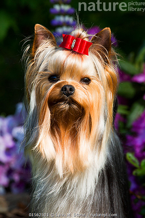 Nature Picture Library Yorkshire Terrier Dog With Long