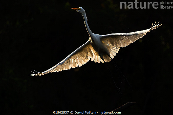 RF - Great egret (Ardea alba) in flight, backlit. Gambia Africa. May 2016. (This image may be licensed either as rights managed or royalty free.)  ,  Animal,Vertebrate,Bird,Birds,Typical heron,Great egret,Animalia,Animal,Wildlife,Vertebrate,Aves,Bird,Birds,Pelecaniformes,Ardeidae,Ardea,Typical heron,Heron,Ardeinae,Ardea alba,Great egret,Great white egret,Large egret,Great white heron,Casmerodius albus,Egretta alba,Flying,Alertness,Balance,Pride,Proud,Nobody,Length,Long,Lengthy,Africa,West Africa,Gambia,The Gambia,Copy Space,Plain Background,Black Background,Back Lit,Wing,Outdoors,Day,Ventral view,Underside,Wings spread,Wingspan,Negative space,West African,Jalohaikara,RF,Royalty free,RFCAT1,RF17Q1,  ,  David  Pattyn