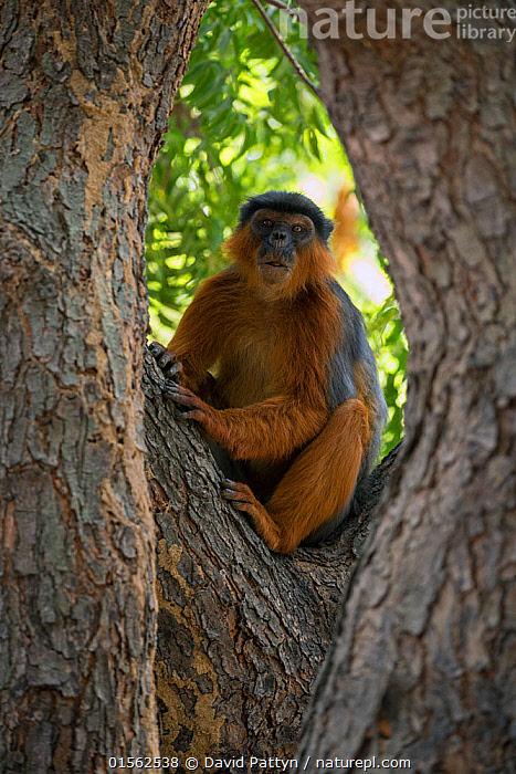 RF - Western red colobus (Procolobus badius) in a tree. Gambia, Africa. May 2016. (This image may be licensed either as rights managed or royalty free.)  ,  Animal,Vertebrate,Mammal,Monkey,Red Colobus Monkeys,Bay Colobus,Animalia,Animal,Wildlife,Vertebrate,Mammalia,Mammal,Primate,Primates,Cercopithecidae,Monkey,Old World Monkeys,Procolobus,Red Colobus Monkeys,Procolobus badius,Bay Colobus,Red Colobus,West African Red Colobus,Western Red Colobus,Sitting,Waiting,Alertness,Anticipation,Uncertain,Unsure,Suspicion,Nobody,Africa,West Africa,Gambia,The Gambia,Plant,Bark,Tree Trunk,Tree,Outdoors,Day,West African,RF,Royalty free,RFCAT1,RF17Q1,  ,  David  Pattyn