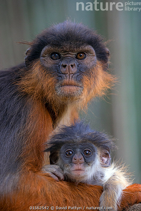 RF - Western red colobus (Procolobus badius) female with small youngster. Gambia, Africa. May 2016. (This image may be licensed either as rights managed or royalty free.)  ,  Animal,Vertebrate,Mammal,Monkey,Red Colobus Monkeys,Bay Colobus,Animalia,Animal,Wildlife,Vertebrate,Mammalia,Mammal,Primate,Primates,Cercopithecidae,Monkey,Old World Monkeys,Procolobus,Red Colobus Monkeys,Procolobus badius,Bay Colobus,Red Colobus,West African Red Colobus,Western Red Colobus,Suspicion,Two,Nobody,Ugly,Ugliness,Africa,West Africa,Gambia,The Gambia,Close Up,Portrait,Female animal,Hair,Fur,Outdoors,Day,Family,Mother baby,Mother-baby,mother,Two animals,West African,Parent baby,Animal portrait,Animal Hair,RF,Royalty free,RFCAT1,RF17Q1,  ,  David  Pattyn