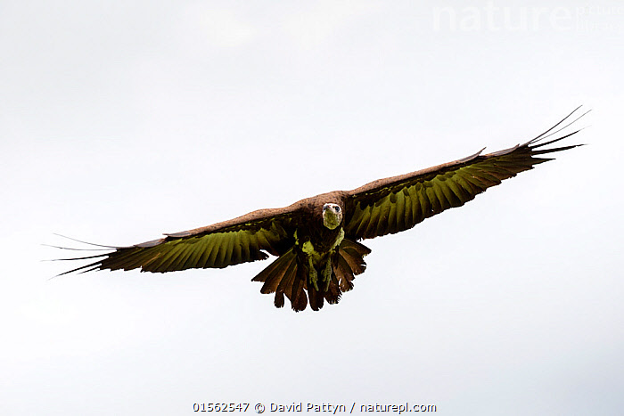 RF - Hooded vulture (Necrosyrtes monachus) in flight. Gambia, Africa. May 2016. (This image may be licensed either as rights managed or royalty free.)  ,  Animal,Vertebrate,Bird,Birds,Vulture,Hooded vulture,Animalia,Animal,Wildlife,Vertebrate,Aves,Bird,Birds,Accipitriformes,Accipitridae,Necrosyrtes,Vulture,Old world vulture,Necrosyrtes monachus,Hooded vulture,Flying,Determination,Nobody,Africa,West Africa,Gambia,The Gambia,Copy Space,Plain Background,White Background,Front View,Feather,Wing,Outdoors,Day,Wings spread,Wingspan,Plumage,Negative space,West African,RF,Royalty free,RFCAT1,RF17Q1,Endangered species,threatened,Endangered  ,  David  Pattyn