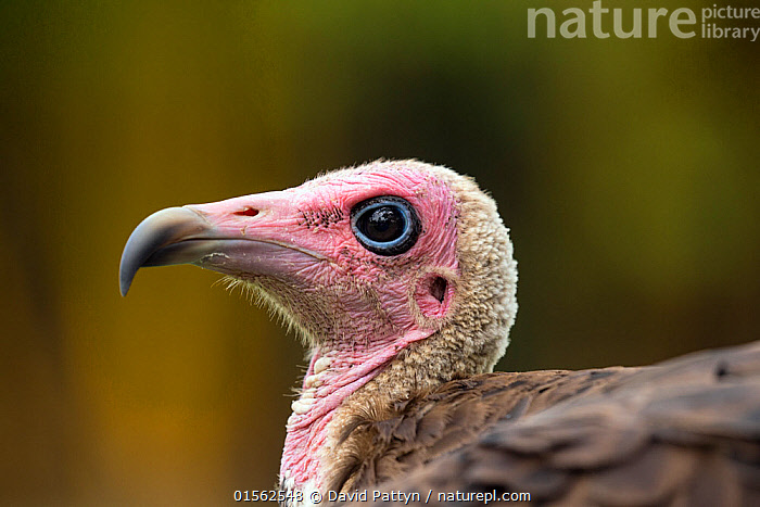 RF - Hooded vulture (Necrosyrtes monachus) close-up portrait. Gambia, Africa. May 2016. (This image may be licensed either as rights managed or royalty free.)  ,  Animal,Vertebrate,Bird,Birds,Vulture,Hooded vulture,Animalia,Animal,Wildlife,Vertebrate,Aves,Bird,Birds,Accipitriformes,Accipitridae,Necrosyrtes,Vulture,Old world vulture,Necrosyrtes monachus,Hooded vulture,Uncertain,Unsure,Black Eye,Black Eyes,Nobody,Africa,West Africa,Gambia,The Gambia,Profile,Side View,Portrait,Beak,Outdoors,Day,Negative space,West African,Animal portrait,RF,Royalty free,RFCAT1,RF17Q1,Endangered species,threatened,Endangered  ,  David  Pattyn