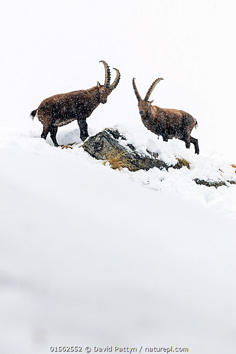 RF - Alpine ibex (Capra ibex) two adult males in deep snow on a ridge with young during snowfall. Gran Paradiso National Park, the Alps, Italy. January. (This image may be licensed either as rights managed or royalty free.)  ,  Animal,Vertebrate,Mammal,Bovid,Goat,Animalia,Animal,Wildlife,Vertebrate,Mammalia,Mammal,Artiodactyla,Even-toed ungulates,Bovidae,Bovid,ruminantia,Ruminant,Capra,Goat,Wild goats,Capra ibex,Face To Face,Two,Nobody,Horned,Ridge,Europe,Southern Europe,Italy,Copy Space,Side View,Male Animal,Hill,Snow,Outdoors,Winter,Day,Nature,Wild,Reserve,Alps,Protected area,National Park,Horn,Two animals,Negative space,Gran Paradiso National Park,RF,Royalty free,RFCAT1,RF17Q1,  ,  David  Pattyn