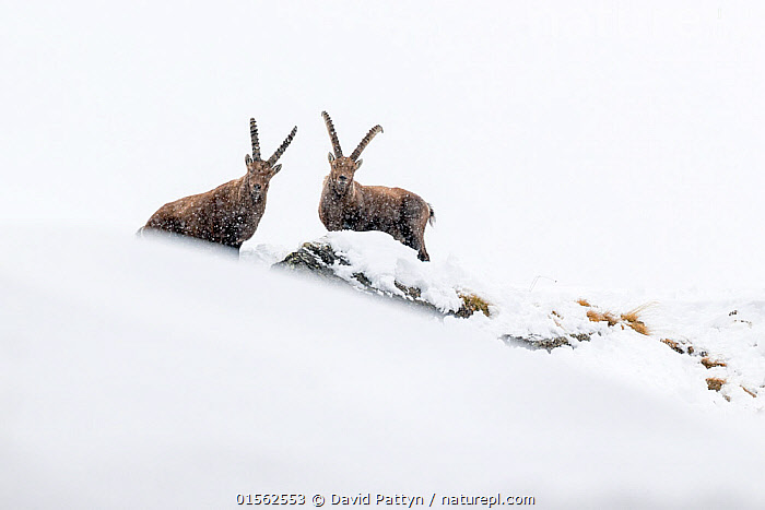 RF - Alpine ibex (Capra ibex) two adult males in deep snow on a ridge with young during snowfall. Gran Paradiso National Park, the Alps, Italy. January. (This image may be licensed either as rights managed or royalty free.)  ,  Animal,Vertebrate,Mammal,Bovid,Goat,Animalia,Animal,Wildlife,Vertebrate,Mammalia,Mammal,Artiodactyla,Even-toed ungulates,Bovidae,Bovid,ruminantia,Ruminant,Capra,Goat,Wild goats,Capra ibex,Curiosity,Two,Nobody,Ridge,Europe,Southern Europe,Italy,Copy Space,Male Animal,Snow,Weather,Snowing,Snowfall,Outdoors,Winter,Day,Nature,Wild,Reserve,Protected area,National Park,Two animals,Direct Gaze,Negative space,Gran Paradiso National Park,RF,Royalty free,RFCAT1,RF17Q1,  ,  David  Pattyn