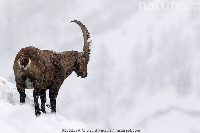 RF - Alpine ibex (Capra ibex) male in deep snow on a ridge during heavy snowfall. Gran Paradiso National Park, the Alps, Italy. January. (This image may be licensed either as rights managed or royalty free.)  ,  Animal,Vertebrate,Mammal,Bovid,Goat,Animalia,Animal,Wildlife,Vertebrate,Mammalia,Mammal,Artiodactyla,Even-toed ungulates,Bovidae,Bovid,ruminantia,Ruminant,Capra,Goat,Wild goats,Capra ibex,Standing,Obstinate,Stubborness,Stubbornness,Colour,Brown,Nobody,Horned,Stuck,Ridge,Europe,Southern Europe,Italy,Copy Space,Hill,Snow,Outdoors,Winter,Day,Nature,Wild,Reserve,Alps,Protected area,National Park,Horn,Negative space,Gran Paradiso National Park,RF,Royalty free,RFCAT1,RF17Q1,  ,  David  Pattyn